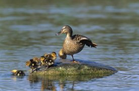 Konrad Wothe - Mallard mother with ducklings, Europe