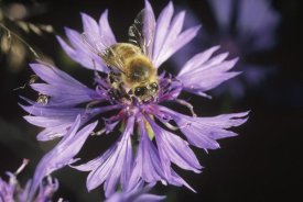 Konrad Wothe - Honey Bee collecting pollen on purple flower, Germany