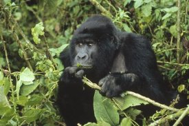 Konrad Wothe - Mountain Gorilla male feeding on vegetation, central Africa