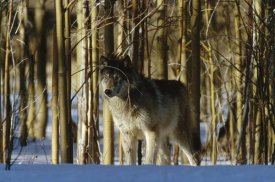 Konrad Wothe - Timber Wolf camouflaged amid birch forest, North America