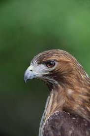 Konrad Wothe - Red-tailed Hawk portrait, North America