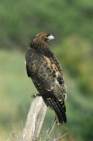 Konrad Wothe - Red-tailed Hawk perching, North America