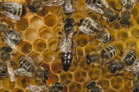 Konrad Wothe - Honey Bee colony and queen on honeycomb, North America