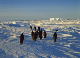 Konrad Wothe - Emperor Penguin group walking on ice, Antarctica
