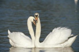 Konrad Wothe - Mute Swan courting pair, Germany