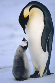 Konrad Wothe - Emperor Penguin adult with chick, Antarctica