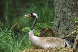Konrad Wothe - Common Crane on nest, Europe