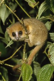 Konrad Wothe - Brown Mouse Lemur , Madagascar