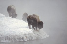 Konrad Wothe - American Bison along snowy riverbank, Yellowstone NP, Wyoming