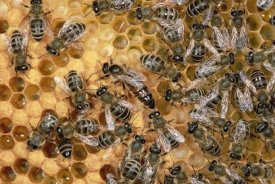 Konrad Wothe - Honey Bee colony on honeycomb with queen, Germany