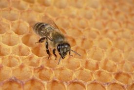 Konrad Wothe - Honey Bee on honeycomb, Germany