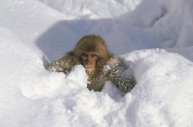 Konrad Wothe - Japanese Macaque baby playing in snow, Japanese Alps, Nagano, Japan