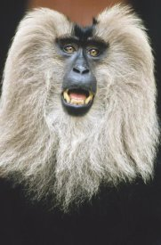Konrad Wothe - Lion-tailed Macaque calling, India