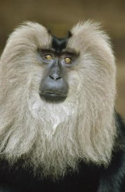 Konrad Wothe - Lion-tailed Macaque portrait, India