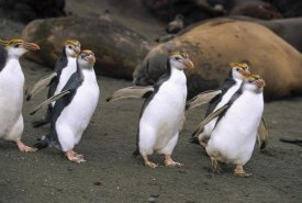Konrad Wothe - Royal Penguin group on beach, Macquarie Island, Australia