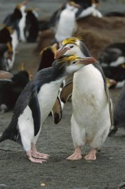 Konrad Wothe - Royal Penguin pair, Macquarie Island, Australia