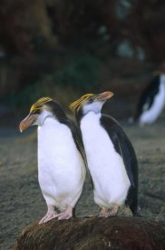 Konrad Wothe - Royal Penguin pair on nest, Macquarie Island