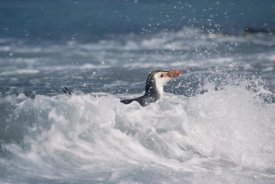 Konrad Wothe - Royal Penguin swimming in surf at shoreline, Macquarie Island