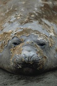 Konrad Wothe - Southern Elephant Seal molting, Macquarie Island
