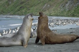 Konrad Wothe - Southern Elephant Seal bulls fighting, Macquarie Island