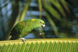 Konrad Wothe - Yellow-naped Parrot walking along palm frond, Amazon, Brazil