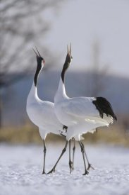Konrad Wothe - Red-crowned Crane pair calling during courtship, Hokkaido, Japan