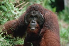 Konrad Wothe - Orangutan old male, Tanjung Puting National Park, Borneo