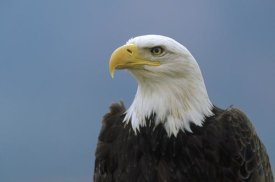 Konrad Wothe - Bald Eagle portrait, North America