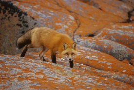 Konrad Wothe - Red Fox on rocks with orange lichen, Churchill, Canada