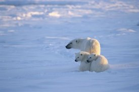 Konrad Wothe - Polar Bear with two cubs, Churchill, Manitoba, Canada