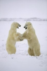 Konrad Wothe - Polar Bear two males play-fighting, Hudson Bay, Canada