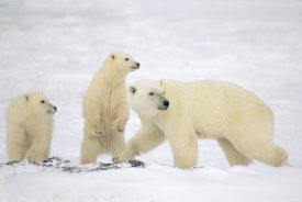 Konrad Wothe - Polar Bear mother with two cubs, Churchill, Canada
