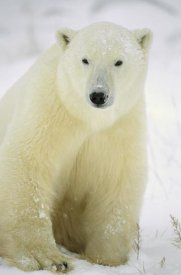 Konrad Wothe - Polar Bear adult portrait, Churchill,  Canada