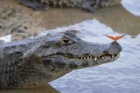 Konrad Wothe - Spectacled Caiman with orange butterfly, Pantanal,  Brazil