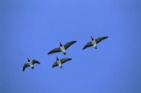 Konrad Wothe - Barnacle Goose flock of four flying, Germany
