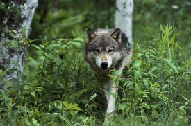 Konrad Wothe - Timber Wolf walking through forest, Pine County, Minnesota