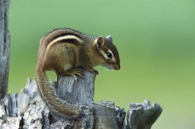 Konrad Wothe - Eastern Chipmunk on snag, North America