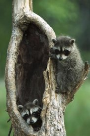 Konrad Wothe - Raccoon two babies playing in tree, North America