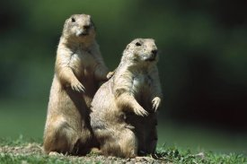 Konrad Wothe - Black-tailed Prairie Dog alert pair, North America