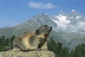 Konrad Wothe - Alpine Marmot , Wallis, Switzerland