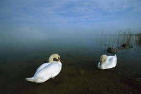 Konrad Wothe - Mute Swan pair in shallow water, Germany