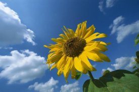 Konrad Wothe - Common Sunflower with blue sky behind, Germany