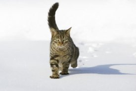 Konrad Wothe - House Cat male walking in snow, Germany