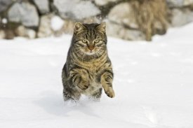 Konrad Wothe - House Cat male running in snow, Germany