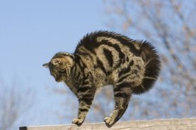 Konrad Wothe - House Cat with raised hackles , Germany