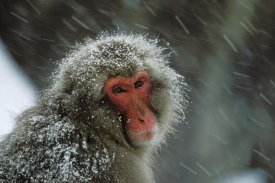Konrad Wothe - Japanese Macaque covered in snow, Japanese Alps near Nagano, Japan
