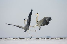 Konrad Wothe - Grey Heron pair fighting, Usedom, Germany