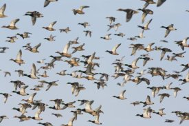 Konrad Wothe - Mallard flock flying, Germany