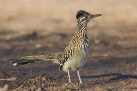Konrad Wothe - Greater Roadrunner profile, New Mexico