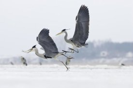 Konrad Wothe - Grey Heron pair fighting over freshly caught fish prey, Usedom, Germany